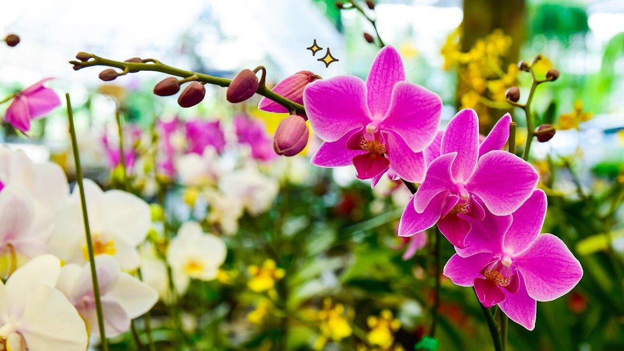 bunga anggrek mekar cantik
